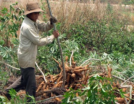 Nông dân xã Hưng Lộc (huyện Thống Nhất) thu hoạch mì.