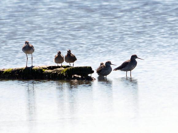 Ed Gaillard: birds &emdash; Yellowlegs, Dowitcher, others (Jamaica Bay)