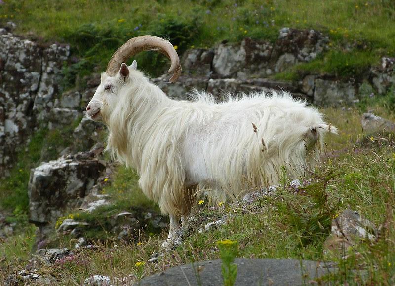 P1050694 - Wild Goat, Isle of Mull