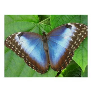 Morpho Beauty Poster