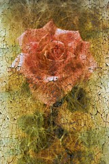Crackled Rose