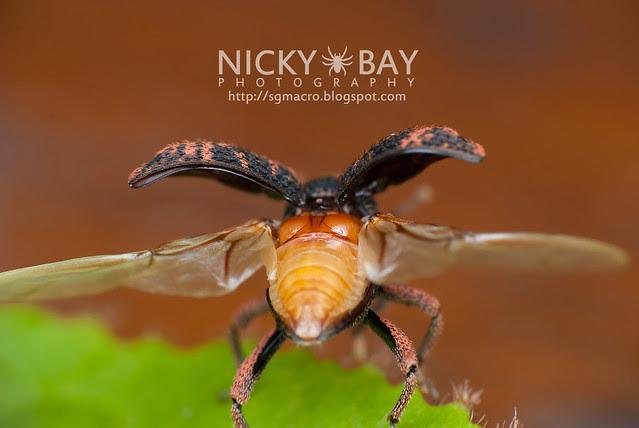 Weevil (Curculionidae) - DSC_2844