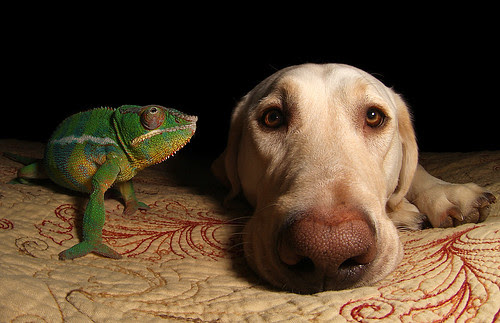 Chameleon and Lab by scott cromwell