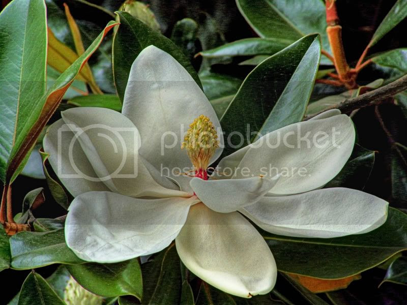 Flor de Magnolio