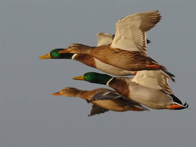 Image result for imagens de migracao de animais