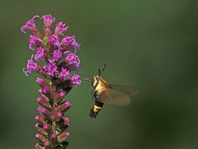 A snowberry clear wing moth is sipping nectar from a blazing star.