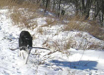 Spot Carryin' a Stick