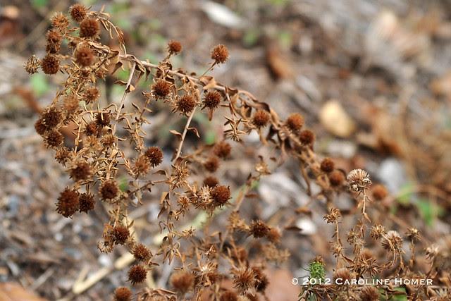 fall aster seedpods