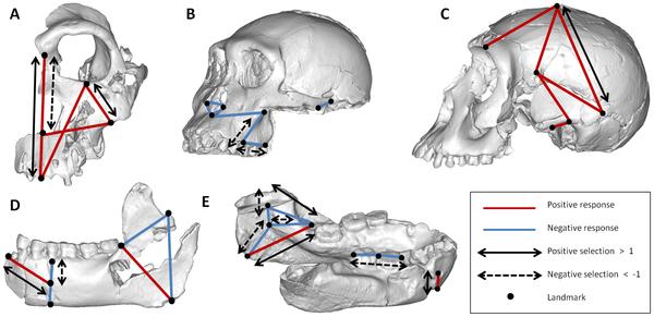 Figura 1 Una representación visual de los vectores de selección necesarios para producir las diferencias observadas en la morfología craneal y mandibular, así como la direccionalidad de las diferencias observadas.