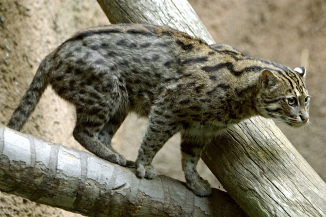 Fishing cat funny and cute cats gallery for Cats go fishing