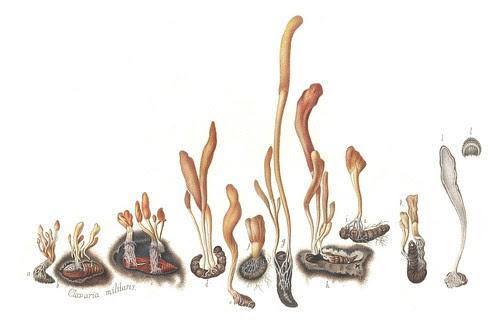Clavaria militaris (Cordyceps militaris)