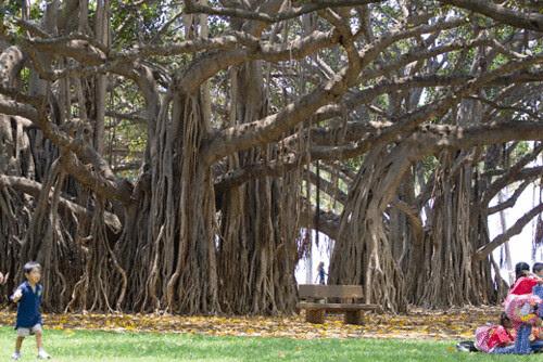 banyan_tree.gif