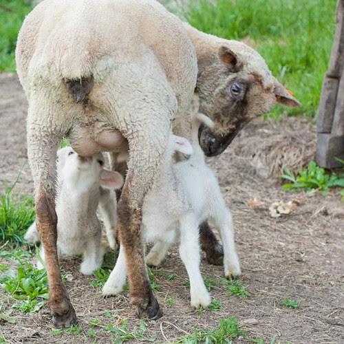 ovellas