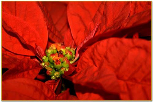 Poinsetia, flor de Pascua