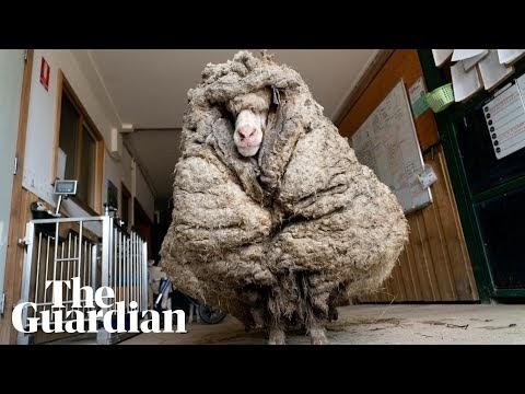 Baarack the sheep shorn of 35kg fleece after being found roaming in rural Australia