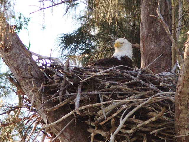 Bald Eagle female brooding young 20140119
