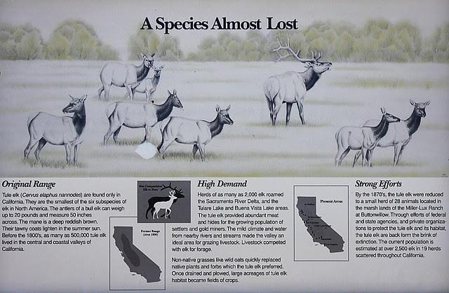 IMG_5785 Tule Elk, San Luis National Wildlife Refuge