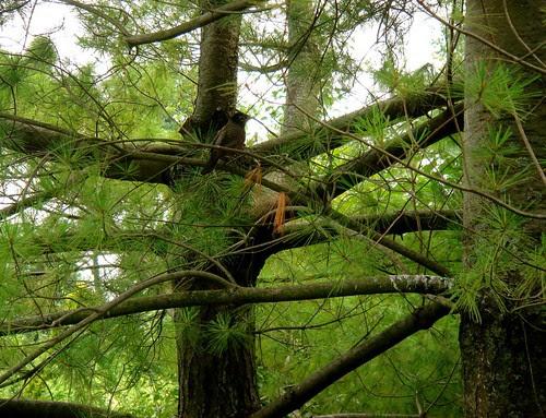 Fir tree with robin