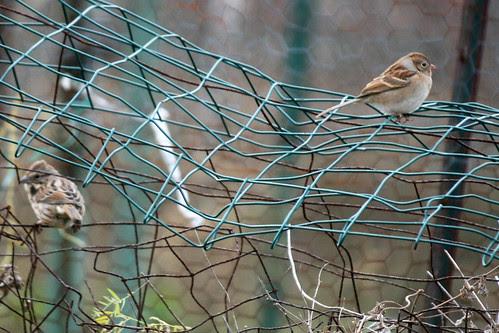 garden birds 015