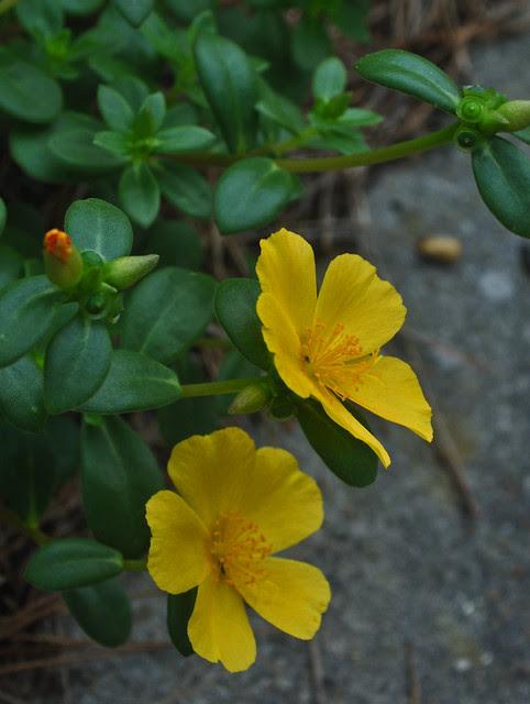 Portulaca x 'Yubi Yellow'