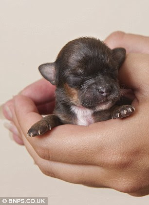 Owner Emma Williams, 29, carefully holds what she believes is Britain's smallest dog. Over the last week she has devotedly feed Mini every two hours