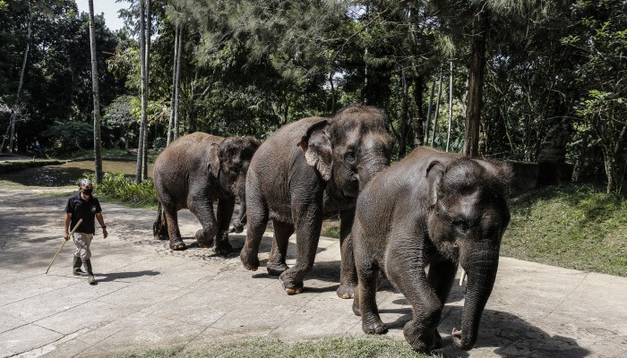 'Lockdown' for Bali's elephants far worse than anything people have suffered
