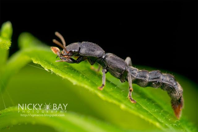Rove Beetle (Neopinophilus sp.) - DSC_8801