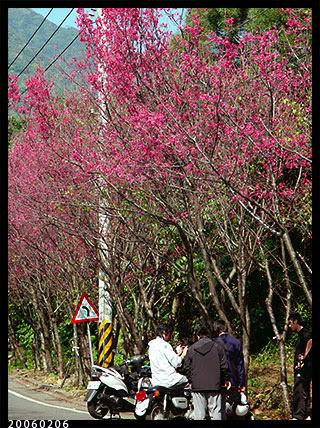 復興三路櫻花樹