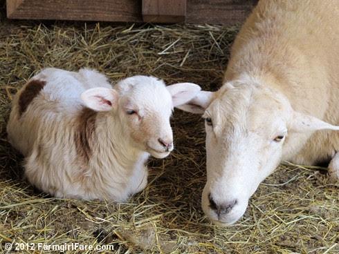 Random Lamb Snaps 13 - FarmgirlFare.com