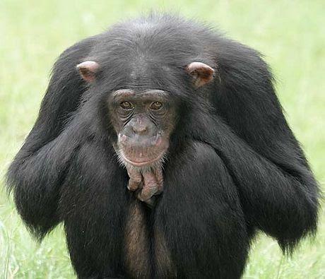 Perierga.gr - Έγκλειστοι χιμπατζήδες είδαν το φως της μέρας μετά από 30 χρόνια!