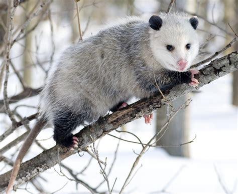 File:Opossum 3   Wikipedia