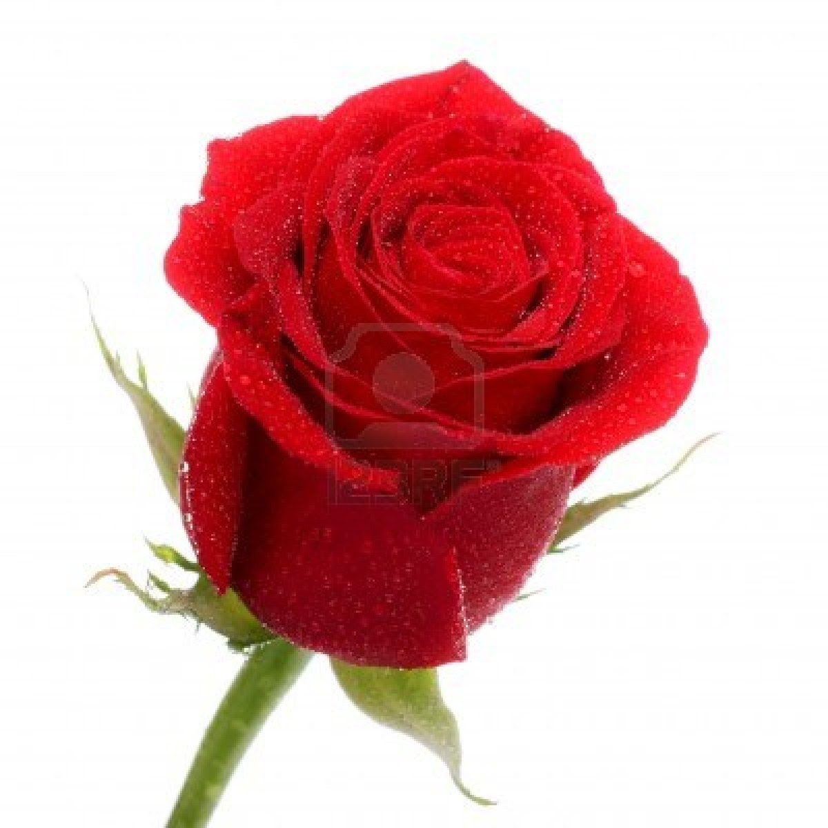 Free Red Rose Download Free Clip Art Free Clip Art On Clipart Library