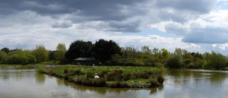 26934 - Gull Colony, Llanelli WWT