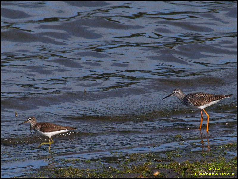 Solitary Sandpiper and Lesser Yellowlegs
