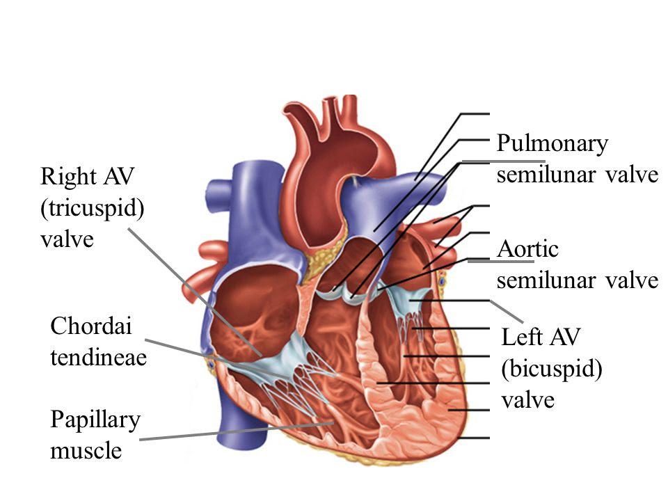 Pulmonary+semilunar+valve