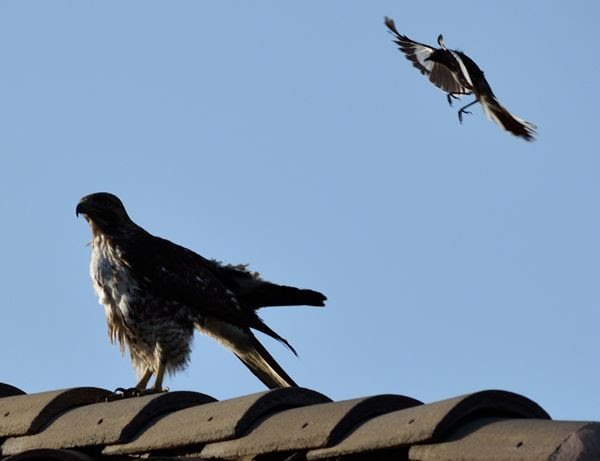 The hawk remains perched atop the roof of my neighbor's house as the northern mockingbird flies next to it...on April 28, 2018.