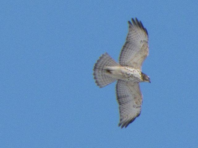 immature red-tail hawk