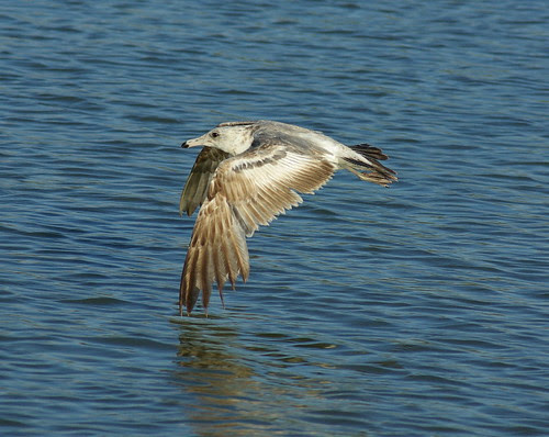 Bird In Flight with Tamron 70-300 Di LD Macro