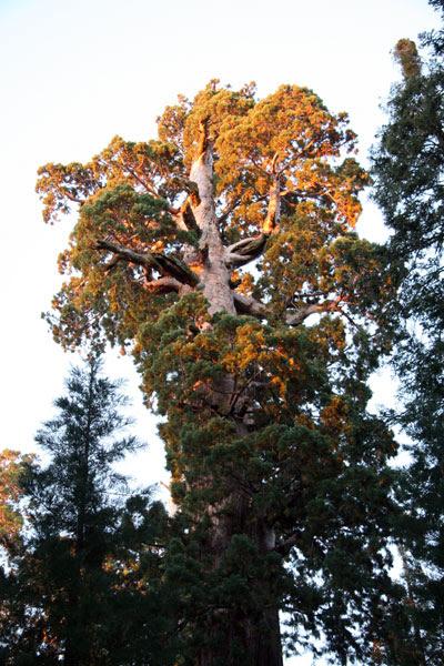 oregon_tree