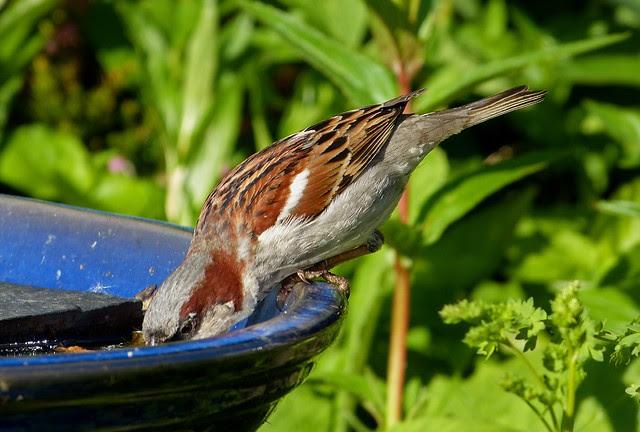 27272 - House Sparrow, Garden