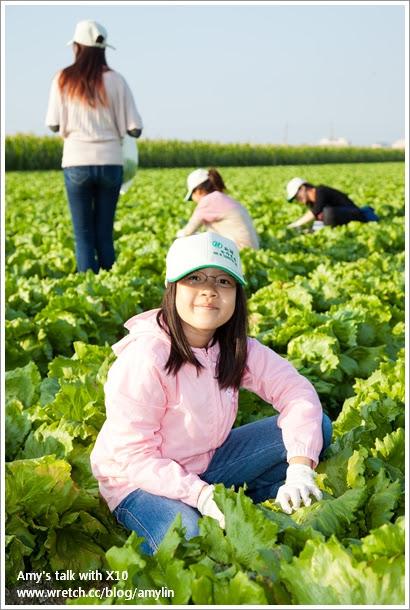 生菜採收DIY (5)