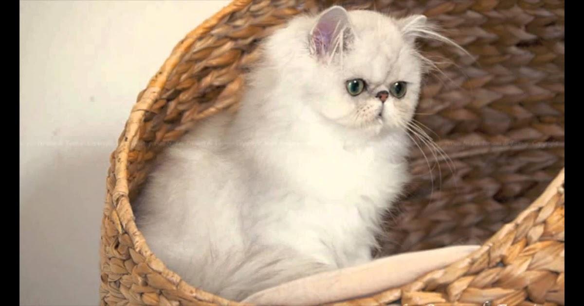 Gambar Kucing Persia Lucu Dan Imut godean.web.id