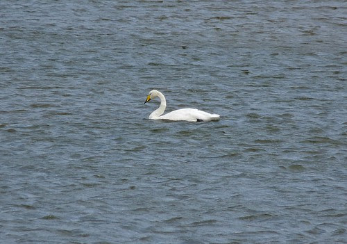 22359 - Whooper Swan, Porthmadog
