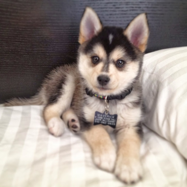 Puppyfinder.com: Pomsky puppies for sale near me in Mississippi USA