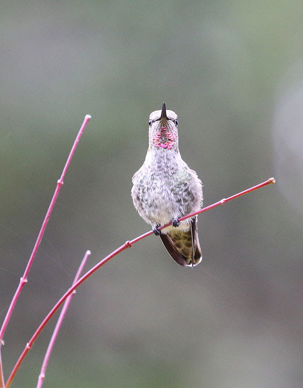 Anna                                                           hummingbird in                                                           Florence,                                                           Oregon