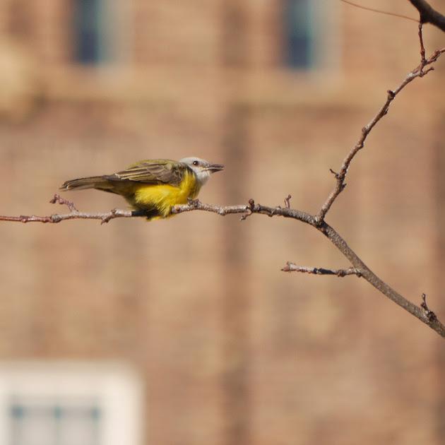 Ed Gaillard: birds &emdash; Couch's Kingbird, Abingdon Square