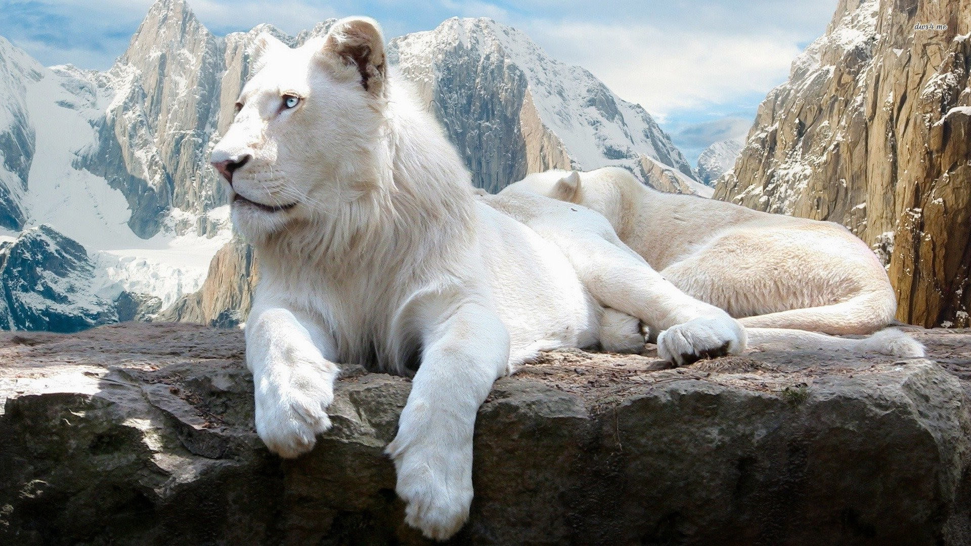 White Lion Wallpapers 66 Images Images, Photos, Reviews