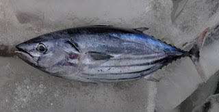 Jenis Ikan Laut Beracun