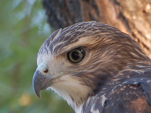 Red-Tail Fledgling Close-Up