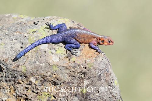 Lazy Lizard by Megan Lorenz